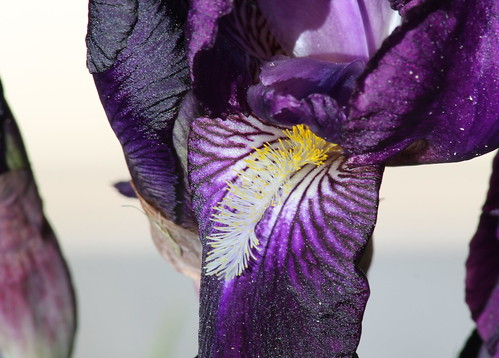 Iris x germanica 'Crimson King' - Barr and Sons 1893 8983706602_45286a99a1