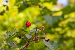 Blackberries Coming In