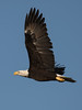 bald eagle LSPE6330 August 27, 2016