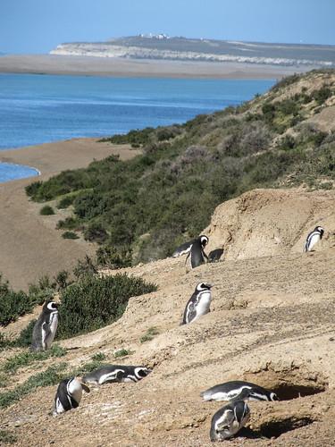 La Peninsula de Valdés: les manchots de Magellan