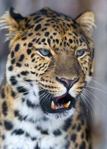 Cute leopard with open mouth by Tambako the Jaguar
