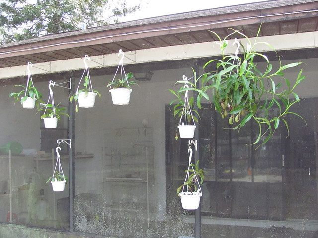 Nepenthes hanging around