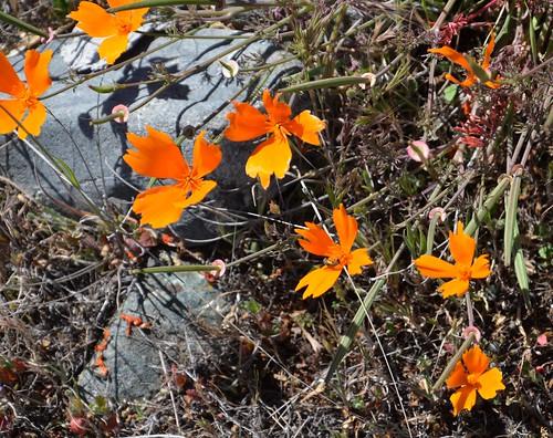 Eschscholzia californica - California Poppy - wild fringed form