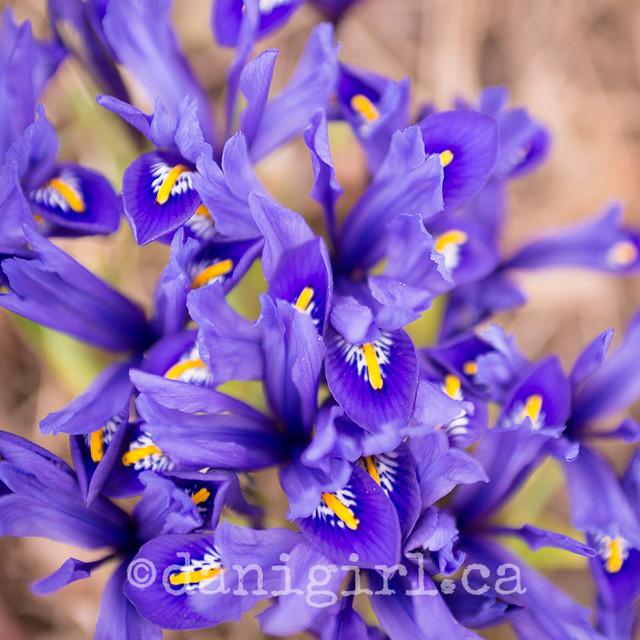Crocuses! (ahem, apparently NOT crocuses. Miniature Irises!!)