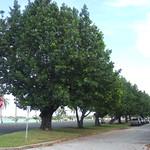Calophyllum inophyllum trees