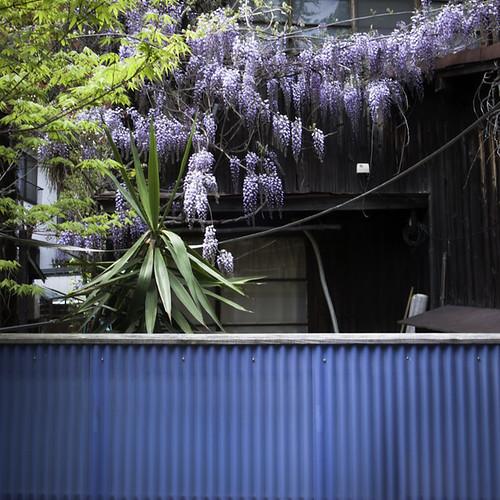Wisteria (フジ属) Zoshigaya Home