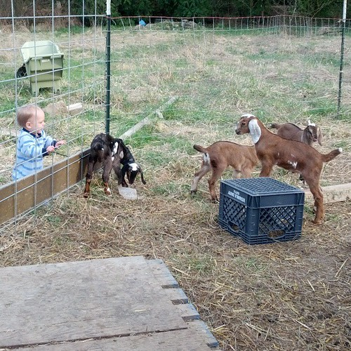 Baby goats,
