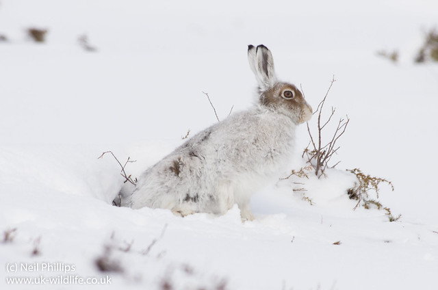 Mountain Hare Lepus timidus-2
