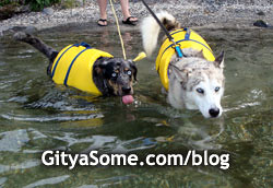 Dogs swimming in bright yellow life jackets