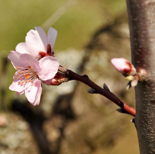 Mandelblüte in der Pfalz 2013
