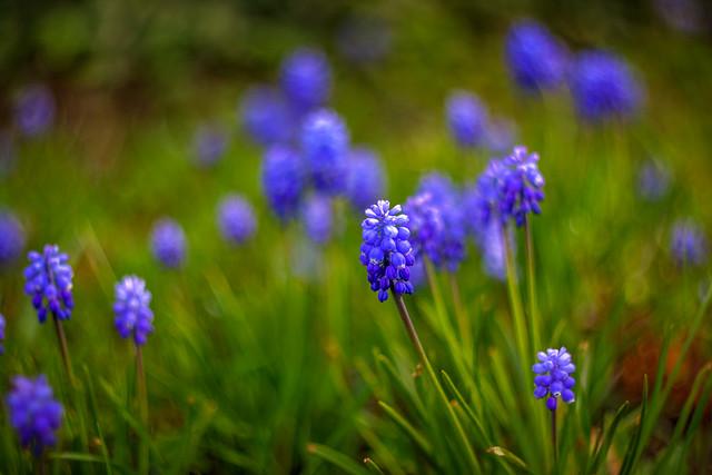 Ceapa ciorii albastră (Muscari armeniacum) [ Helios 77m-4 + Canon 500d ]