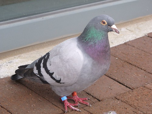 Racing pigeon by Coyoty