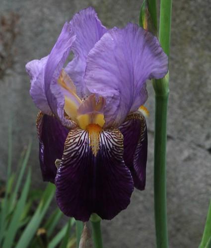 Nos Iris : floraisons 2012 - Page 2 8665484187_428d76fe05