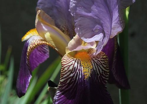Nos Iris : floraisons 2012 - Page 2 8665487233_779ae9a254