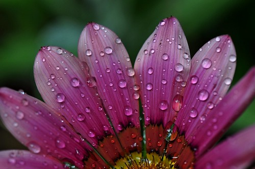 It's raining, Gazania