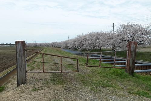桜の花、舞い上がる道を 5