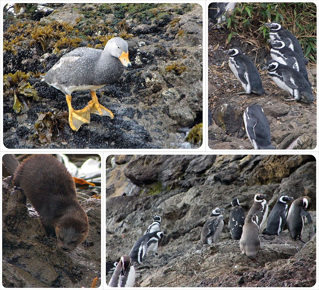 Puñihuil penguin colony in Chiloe Chile