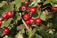 evergreen(0.0), shrub(0.0), berry(0.0), acerola(0.0), flower(0.0), arctostaphylos uva-ursi(0.0), rosa canina(0.0), crataegus pinnatifida(0.0), rose hip(0.0), lingonberry(0.0), branch(1.0), plant(1.0), produce(1.0), fruit(1.0), food(1.0), hawthorn(1.0),