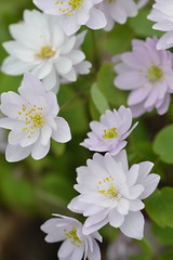 ANEMONELLA thalictroides f.rosea semi-double pink form