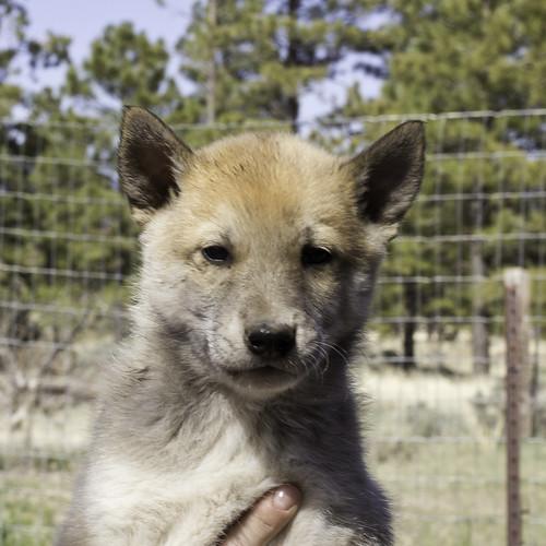 Ike-Kilbe-Pup4-Male(Day 40)-1