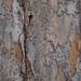 Garden Inventory: Chinese Elm (Ulmus parvifolia) - 11