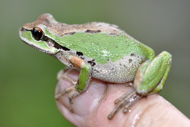 Frog with a very distinctive ear