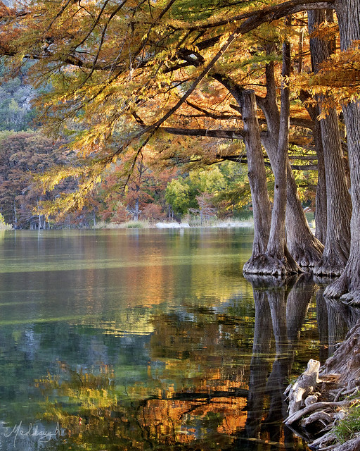 Bald cypress trees over Rio Frio at sunset