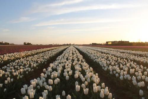 Tulpen Goeree Overflakkee