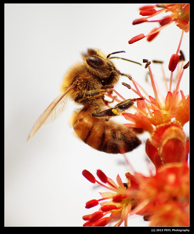 First Honey Bee Photo of 2013