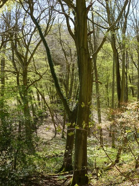 Spring in Wendover woods