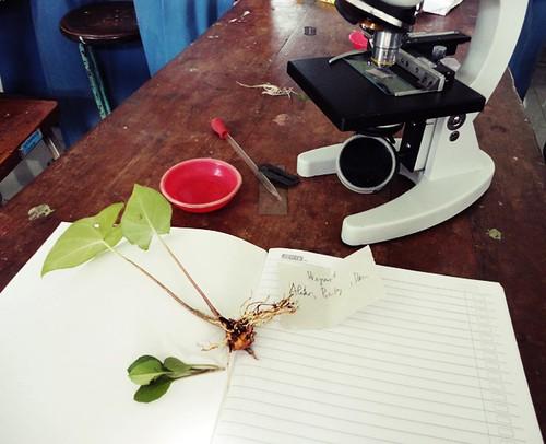 DSC05032 preparat akar, batang, daun