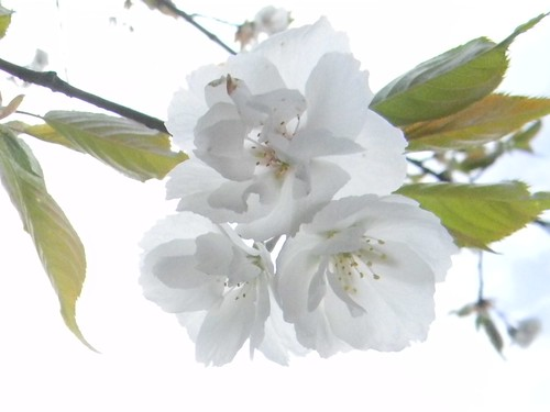 Fruit tree in flower