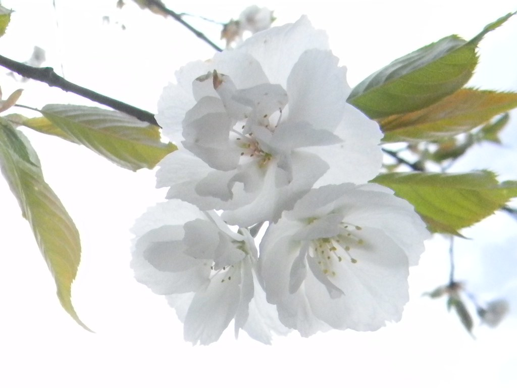 Fruit tree in flower Bekesbourne Circular Cherry I think but could be apple