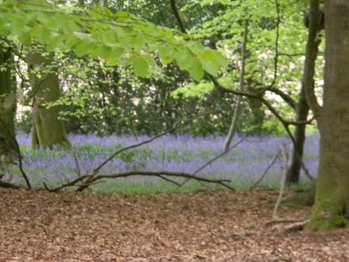 Bluebells, Lambridge Woods