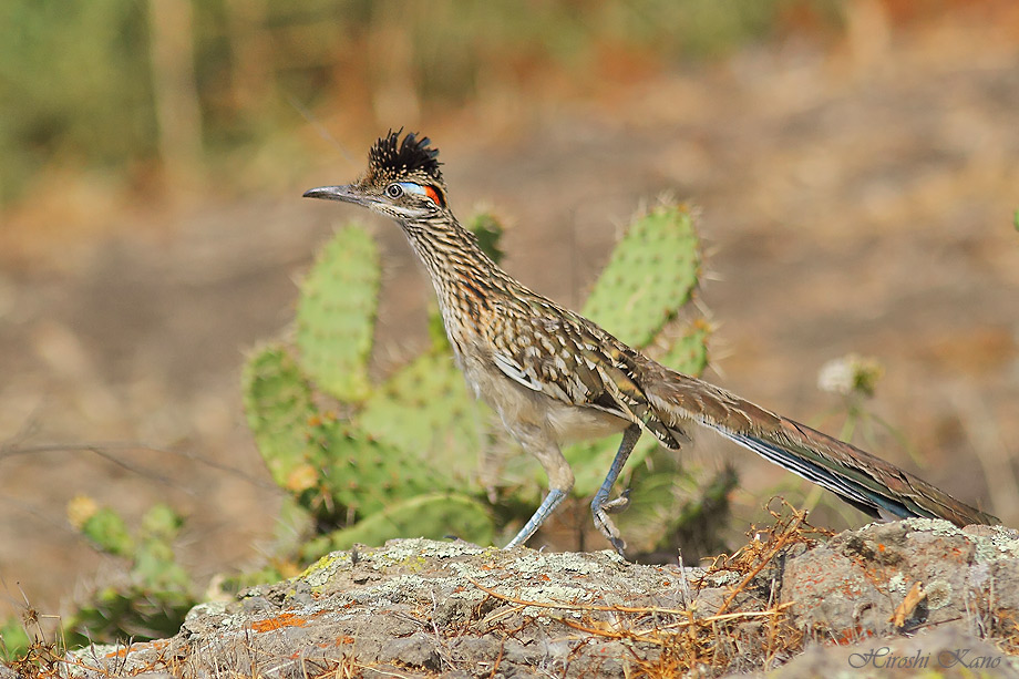 Greater Roadrunner 050513-10