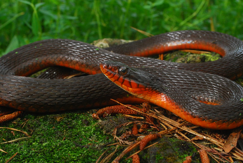 Red Bellied Mud Snake Red Bellied Water Snake