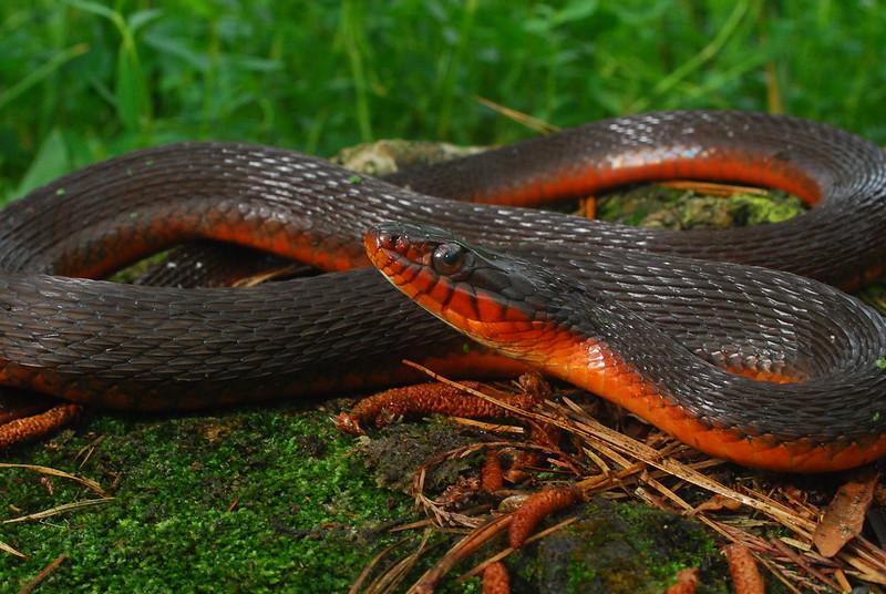 Red Bellied Mud Snake Red Bellied Water Snake
