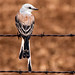 Oklahoma State Bird - Explore by Marvin Bredel