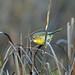 Common Yellowthroat, Upper Newport Bay, Orange, California