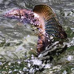 #TheGraylingParade @alagnakriver #ArcticGrayling #LadyOfTheRiver #AlagnakRiver #ATAL #ATrueAlaskaLodge #grayling #graylingparade #keepemwet #catchandrelease #alaska #flyfishing #fishing #alaskagrown #akflyfishing #alaskaflyfishing #alaskaguidelist