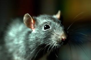 Pests Mice Rats Etc