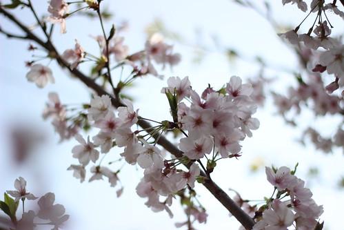 Sakura Cherry blossom Fukuoka