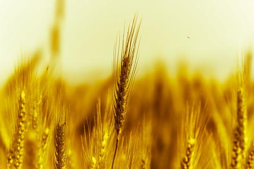 [フリー画像素材] 花・植物, 小麦・コムギ ID:201304010600