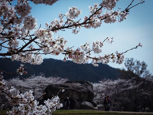 Sakura at Ishibutai kofun tumulus in Asuka