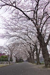 sakura no michi