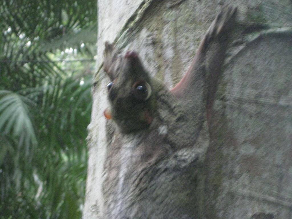 x colugo wild in Singapore IMG_6226