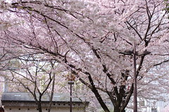 Sakura at Tenjin 2