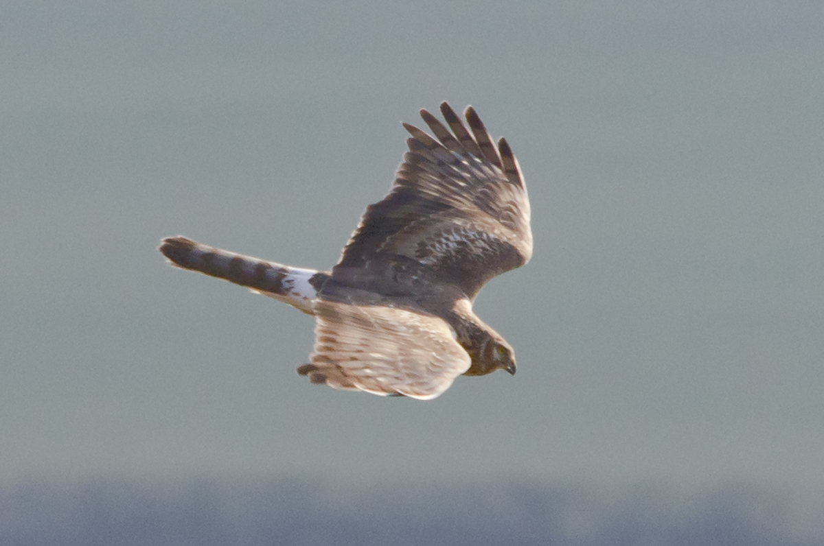 Female Hen Harrier at Liddington Hill