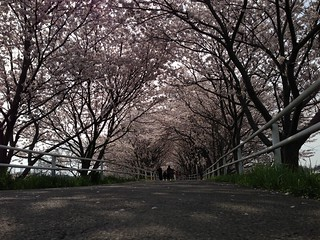 桜のトンネル(千本桜) @花見川