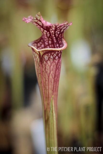 "Sarracenia (mitchelliana x 'Royal Ruby') x (leucophylla ""Purple Lips"" x flava var. ornata)"